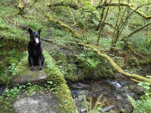 Ziggy, the black wolf, walking companion