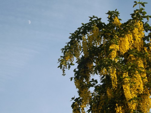 laburnum and moon