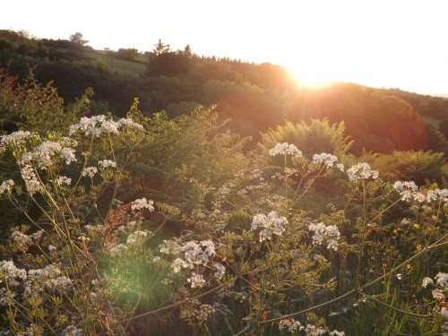 evening sun and cow parsley